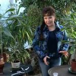 Размножение Драцены и уход в домашних условиях