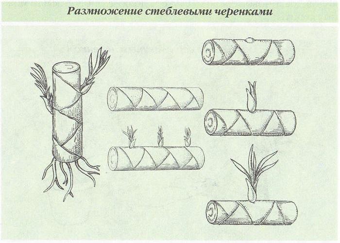 Размножение драцены стеблевыми черенками