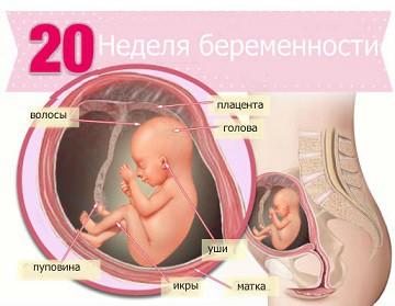 Срок 20 недель беременности
