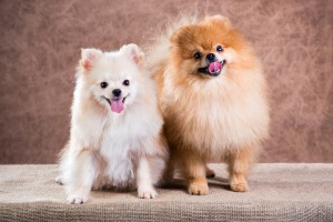 имена для миниатюрных домашних собак