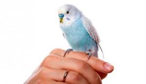 Как назвать попугайчика