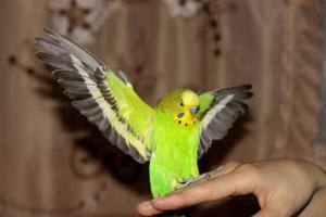 Как назвать говорящего попугая