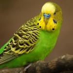 Самые подходящие имена для попугаев мальчиков