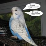 Полезные советы о том, как научить волнистого попугая говорить