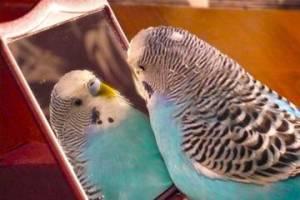 Когда попугаи начинают разговаривать