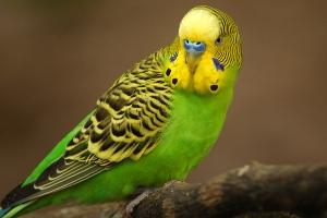 Могут ли говорить волнистые попугаи