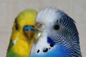 Самец или самка попугая говорит лучше
