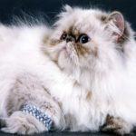Кошки персидской породы