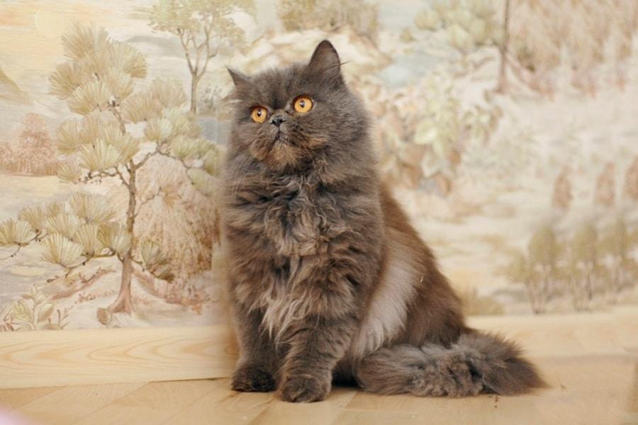 Кошка персидской породы
