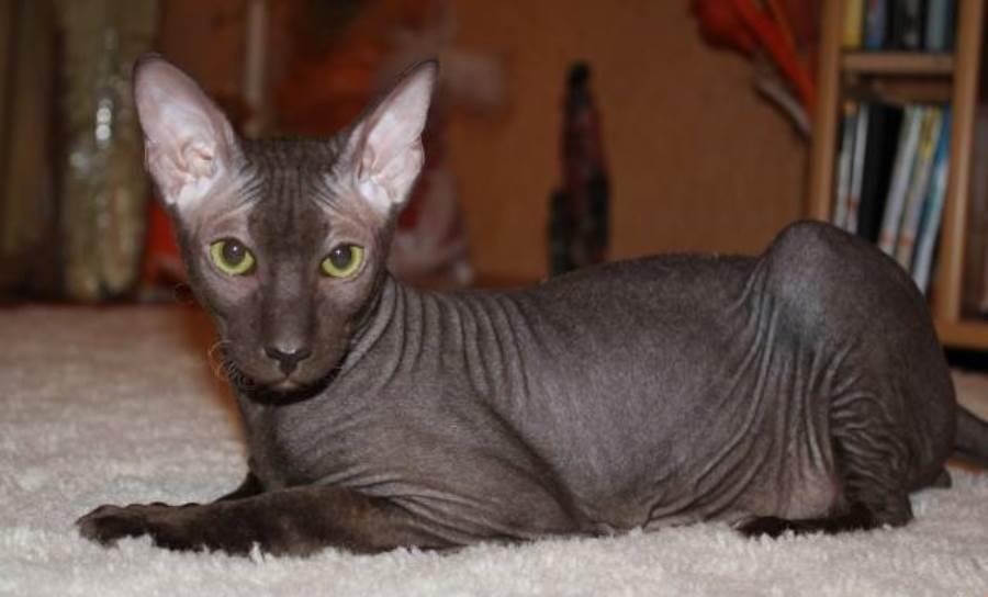 Кошки породы Сфинкс