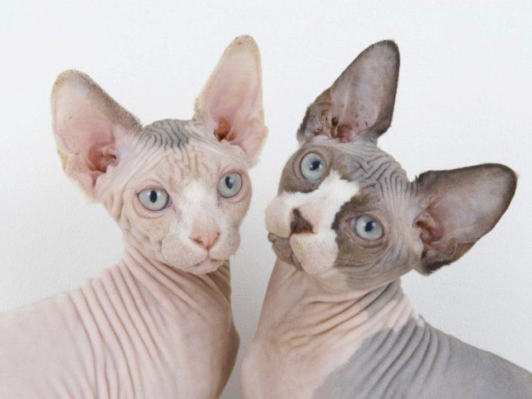 Коты питомника кошек породы канадский сфинкс baby-rah