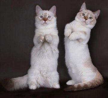 Порода кошек Манчкин
