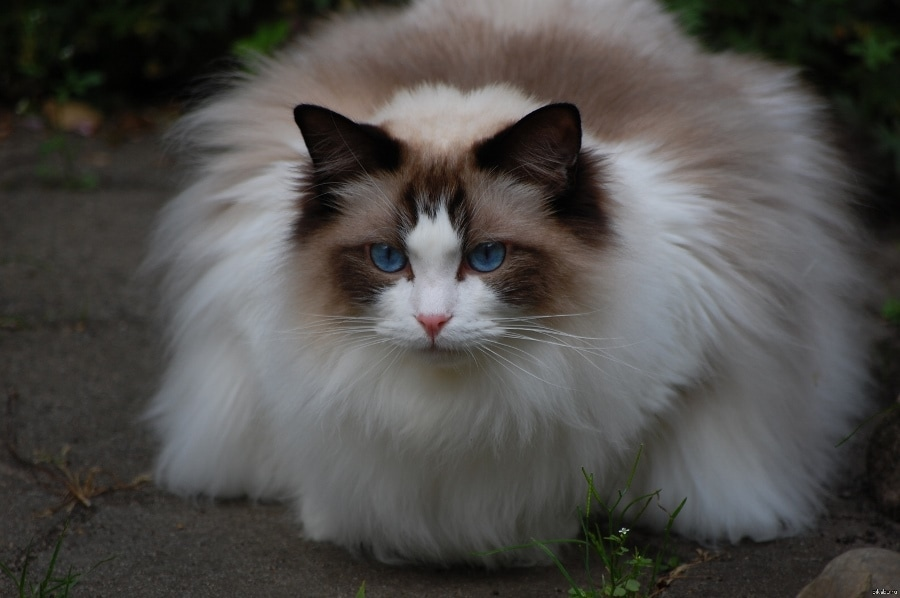 Самые домашние породы кошек
