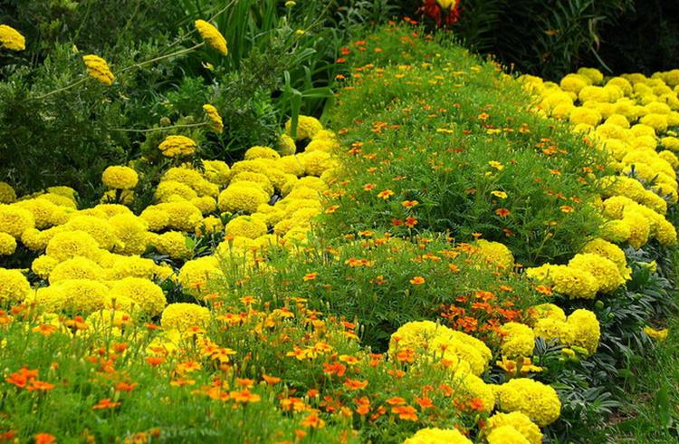 Цветы однолетники цветущие все лето