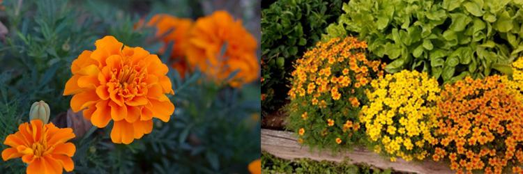 Однолетние цветы Бархатцы