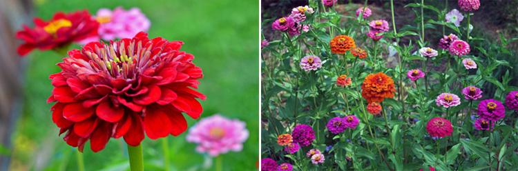 Однолетние цветы Циния