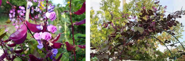Однолетние цветы Долихос