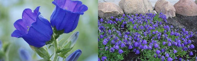 Однолетние цветы Колокольчик