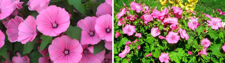 Однолетние цветы Лаватера трехмесячная