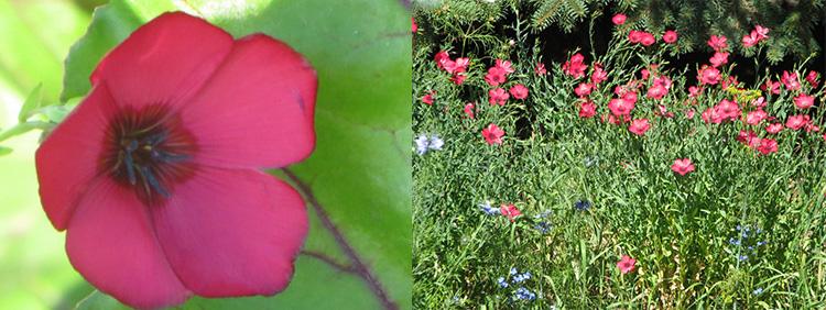 Однолетние цветы Лен крупноцветковый