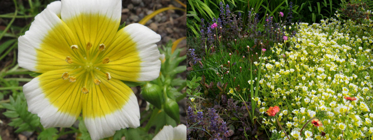 Однолетние цветы Лимнантес Дугласа