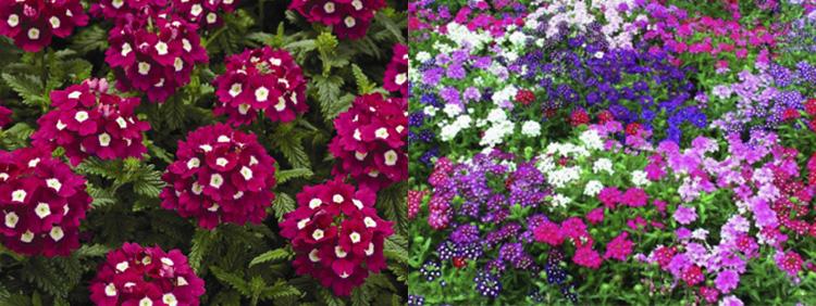 Однолетние цветы Вербена гибридная
