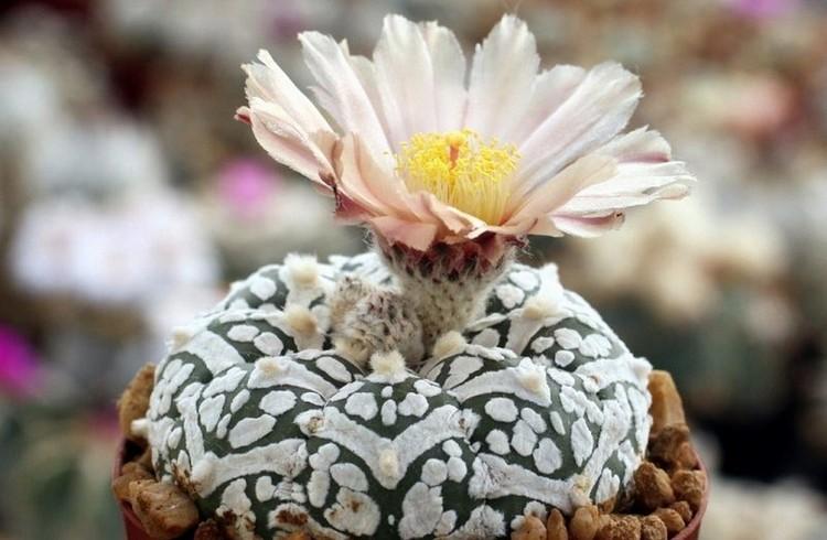 Вид кактусов Астрофитумы
