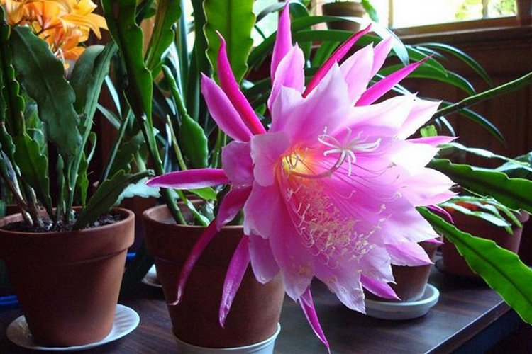 Вид кактуса Эпифиллум