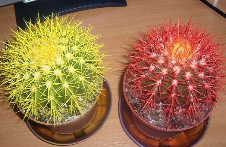 Вид пустынных кактусов Эхинокактус