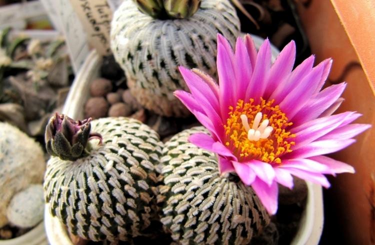 Вид пустынных кактусов Турбиникарпус