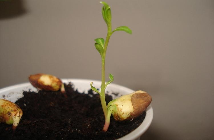 Выращивание миндаля из косточки