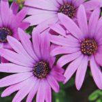 Арктотис: выращивание из семян