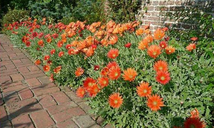 Арктотис: выращивание из семян, когда нужно сажать