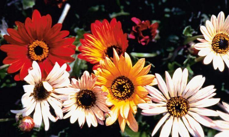 Арлекин - цветок арктотис, фото, выращивание