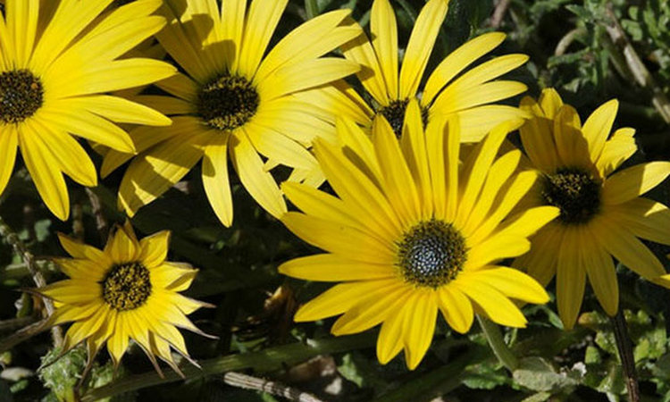 Бесстебельный арктотис - фото, выращивание, уход