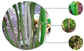Болезнь флоксов - растрескивание стеблей