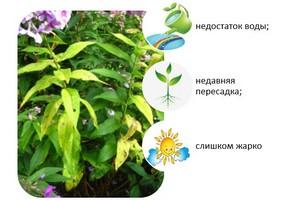 Болезнь флоксов - засыхание листьев