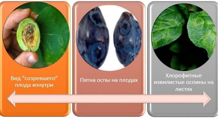 Болезнь сливы оспа (шарка) и способы лечения