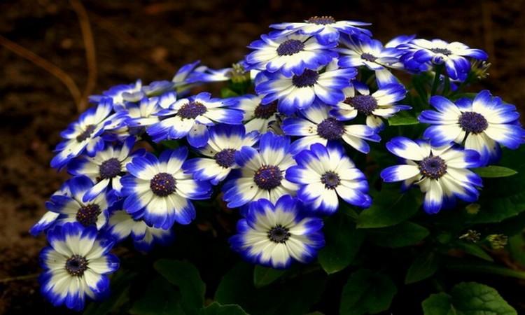 Цинерария синяя: посадка и уход, фото