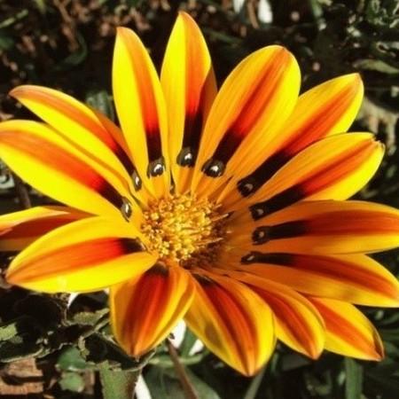 Цветок гацания - фото сорта дейбрейк