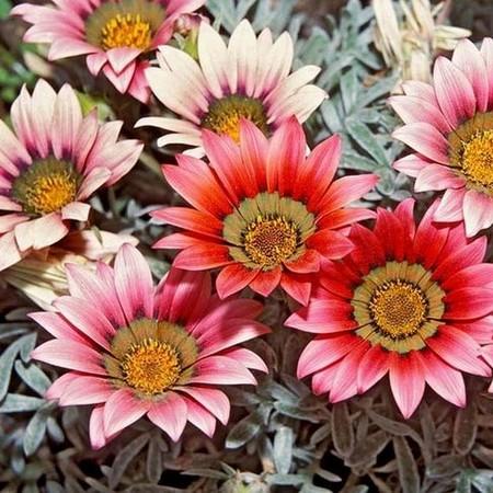 Цветок гацания - фото сорта talent