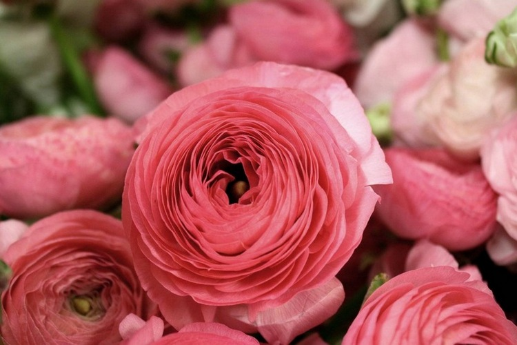 Цветок ранункулюс: посадка и уход, фото