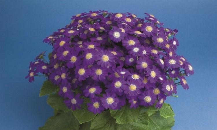 Цветы цинерария: посадка и уход, фото