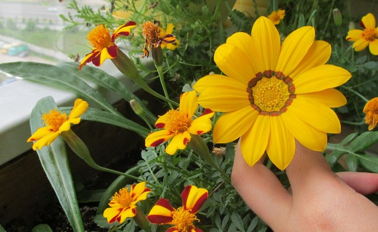 Цветы гацания, фото, посадка и уход на подоконнике