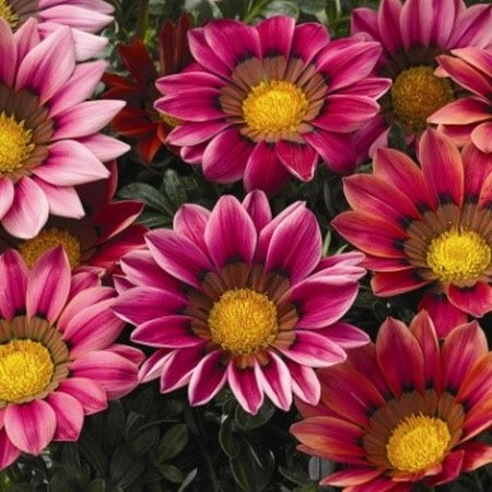 Цветы гацания - кисс роуз, фото