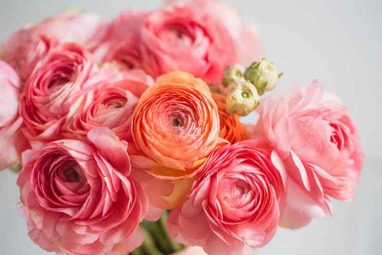 Цветы ранункулюс: посадка и уход, фото
