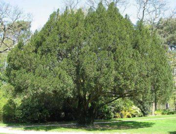 Дерево тис: фото и описание