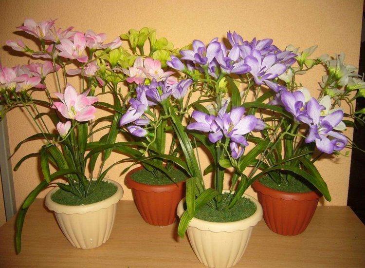 Фрезия - комнатное растение, фото