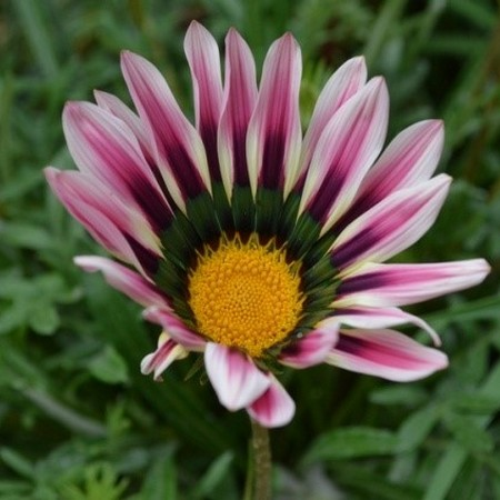 Гацания - цветок садовая звезда