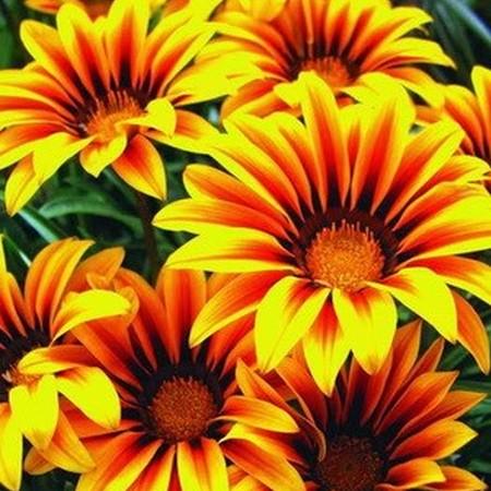 Гацания - фото цветов, сорт смесь русский размер, F1